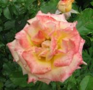 Rose Goldhaube