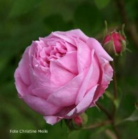 rosensorten duftrosen ba baby alberic maskerade babyflor baccara bacchante bad