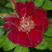 schwarze rosen black roses u a black baccara barkarole black boy orpheline de juillet. Black Bedroom Furniture Sets. Home Design Ideas