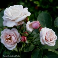Rose Mlle Blanche Lafitte Foto Meile