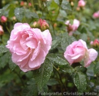 Rose Duchesse d`Angouleme Foto Christine Meile