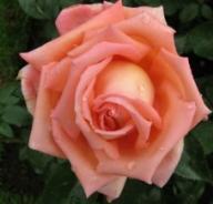 Rose Eclat de Haute Bretagne