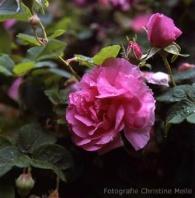 Rose Empress Josephine