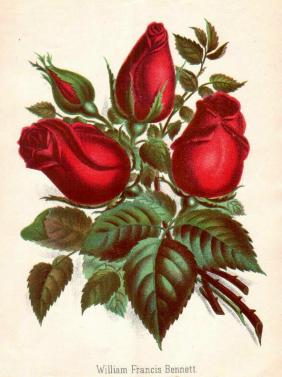 Rose William Francis Bennett Foto Quelle Rosenzeitung