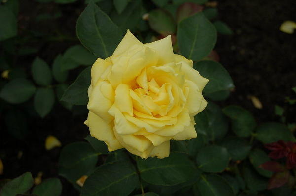 Rose Goldener Sommer Foto Wikipedia