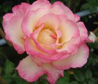 Duftrosen -  Rose Händel Foto Wolfgang Brandt