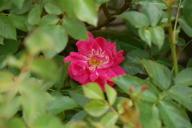 Rose Hagenbeck`s Tierpark Foto Wikipedia