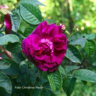 Rose Invincible Foto Meile