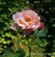 Rose Nymphenburg Foto Meile