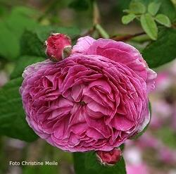 Rose Ohl Foto Christine Meile