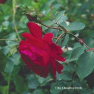 Rose Philomene Foto Meile