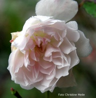 Rose Princess Marie Adelaide de Luxemburg Copy Christine Meile