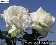 Rose Blanche Colombe Foto Agel