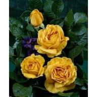 Rose Golden Lady Foto Rosen-Union