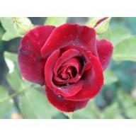 rosensorten duftrosen jol jolie madame jolly good. Black Bedroom Furniture Sets. Home Design Ideas