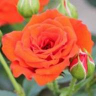 Rose Orange Babyflor Foto Agel