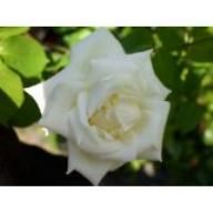 Rose Paul`s Lemon Pillar Foto Agel