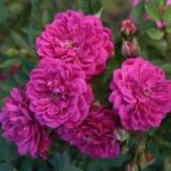 Rose Purple Rain Foto Kordes