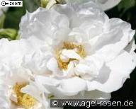 Rose White Roadrunner Foto Agel