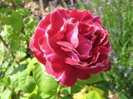 rosensorten duftrosen baron baron girod de l ain gonella lade larrey baroness. Black Bedroom Furniture Sets. Home Design Ideas