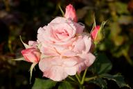Rose Bridal Pink Foto Wikipedia