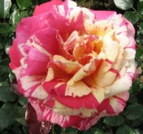rosensorten duftrosen bri bridge of sighs bright smile. Black Bedroom Furniture Sets. Home Design Ideas