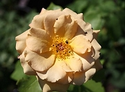 Rose Butterscotch Foto Groenloof