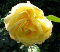 Rose Citrina Foto Brandt