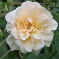 Rosensorten Duftrosen Cl - Clair Rennaisance, Claire Austin, Claire ...