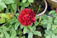 Gallica conditorum Konditor-Rose Foto Brandt