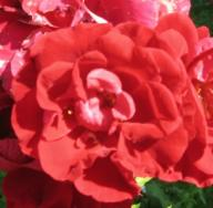Rose Crimson Glory Foto Mail-Brandt