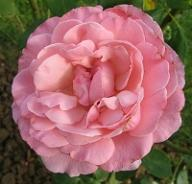 Rose Diane de Poitiers von Crox