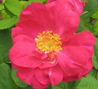 Rose Duchess of Portland - Duchesse de Portland Foto Brandt