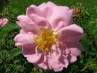 Rose Erlkönig von Rudolf Geschwind Foto Hilscher