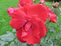 Rose Fanal Foto Brandt