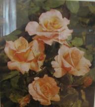 Rose Florett Foto Brandt fotografiert im Rosenmuseum Bad Langensalza