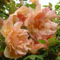Rose Fortune`s Double Yellow Foto Schultheis