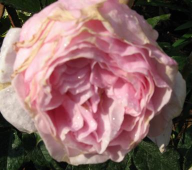 rosensorten duftrosen gar garden glory gardeners 39 joy garibaldi gartenblut gartendirektor. Black Bedroom Furniture Sets. Home Design Ideas
