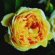 Rose Golden Zest 100 Idees Jardin Foto Kalbus