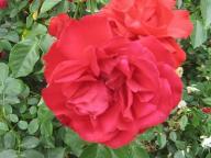 adr rosen gesunde rosen gabriele gebauer g rtnerfreude garden of roses grtenfreund gebr der. Black Bedroom Furniture Sets. Home Design Ideas