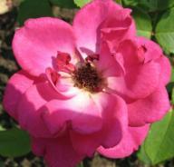 Rose Gregor Mendel Foto Brandt
