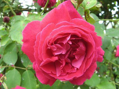 Rose Gruss an Teplitz