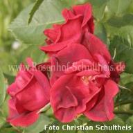 Rose Herbstfeuer Foto Schultheis