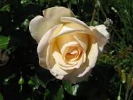 Hermann-Hesse-Rose
