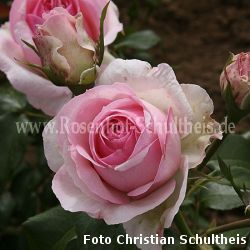 Rose Hermitage Foto Schultheis