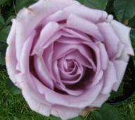 Rose Indigoletta Foto Brandt