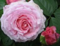 rosensorten duftrosen ja jacaranda flower circus jacob van ruysdael jacotte jacqueline du. Black Bedroom Furniture Sets. Home Design Ideas