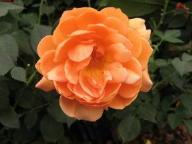 Rose Jane Austen Foto Brandt