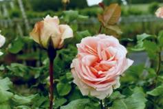 Rose Johann Strauß Foto Hilscher