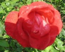 Rose Komet
